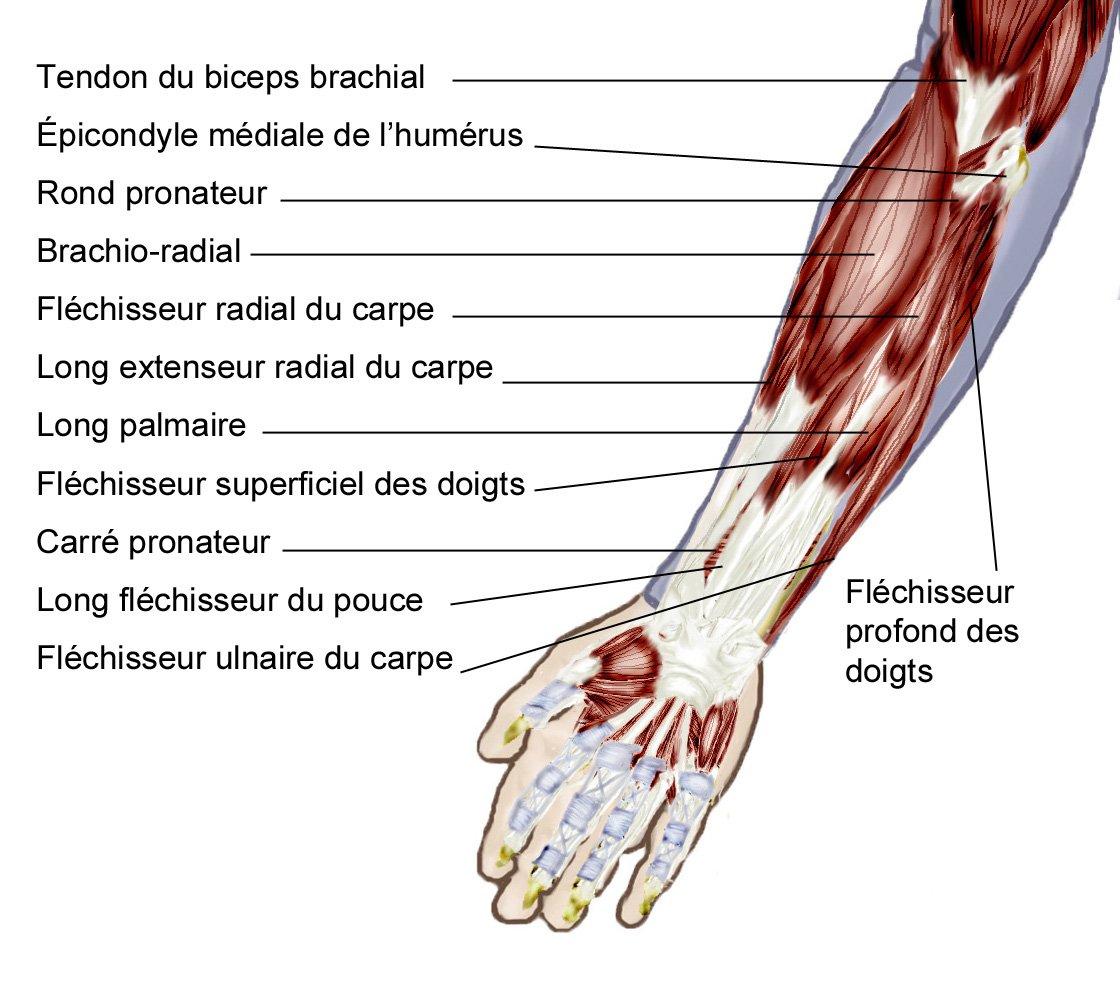 Muscles avant-bras