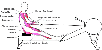 rameur quel muscles travaillent